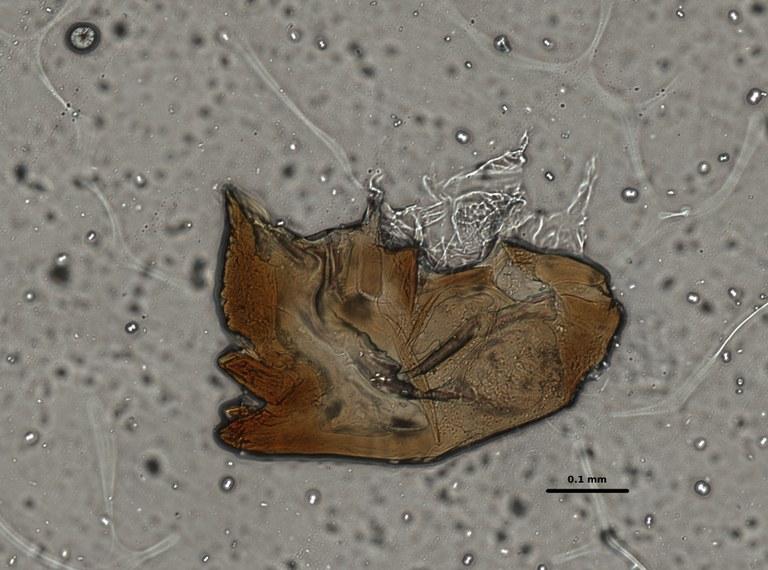 Ephemerythus (Tricomerella) straeleni s1 head mouthparts 7 20x.jpg