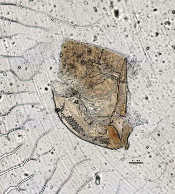 Ephemerythus (Tricomerella) straeleni s1 head mouthparts 8 10x.jpg