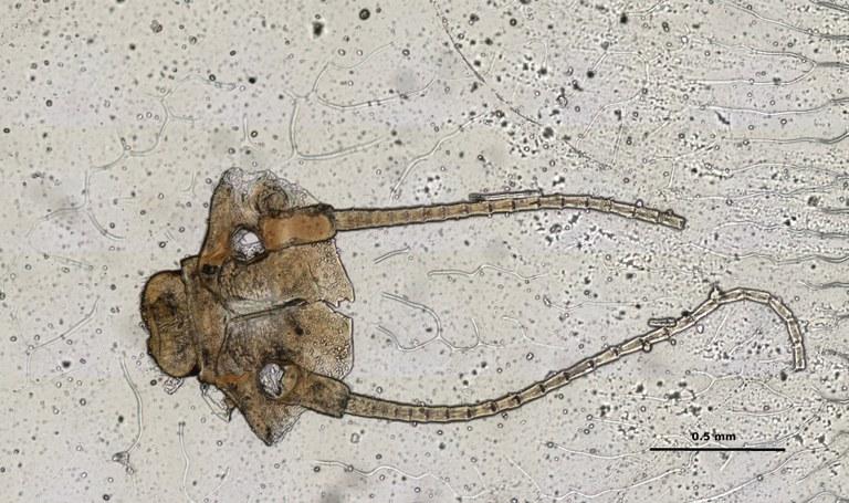 Ephemerythus (Tricomerella) straeleni s1 head mouthparts 9 10x.jpg