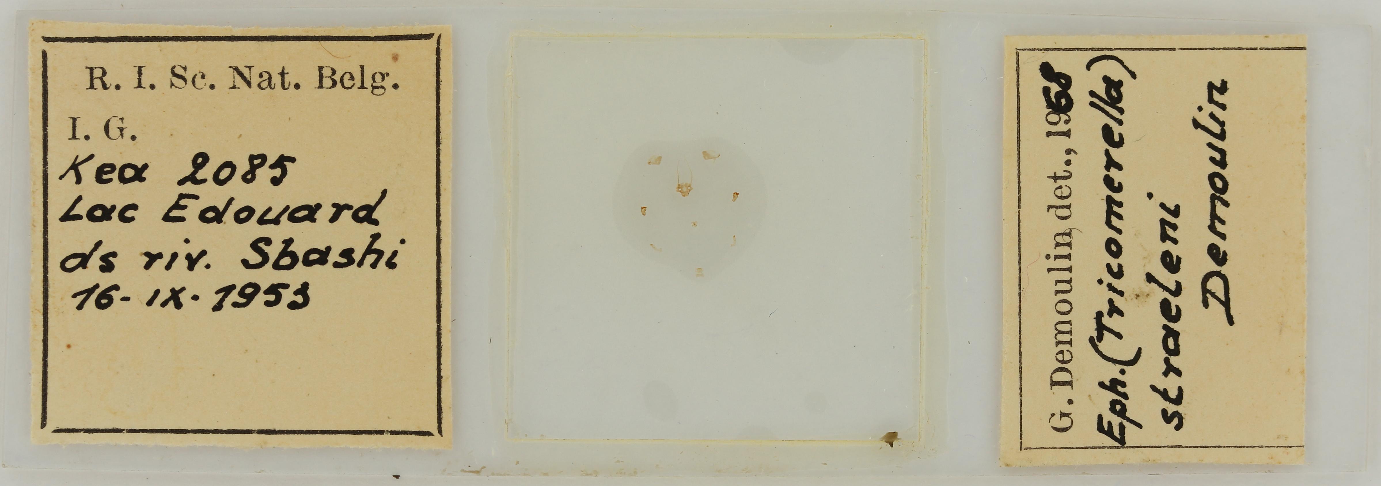 Ephemerythus (Tricomerella) straeleni s1G ht.JPG