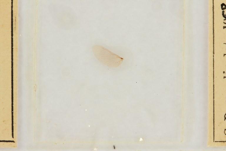 Ephemerythus (Tricomerella) straeleni s3 ht.JPG