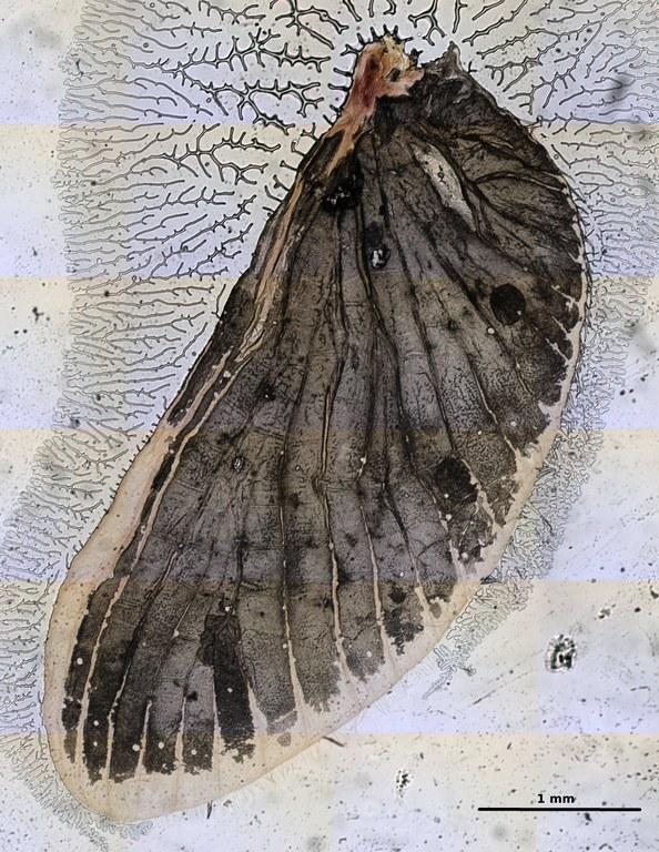 Ephemerythus (Tricomerella) straeleni s3 wing2 5x.JPG