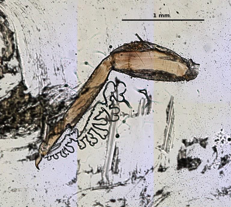 Ephemerythus (Tricomerella) straeleni s4 leg 1 5x.jpg