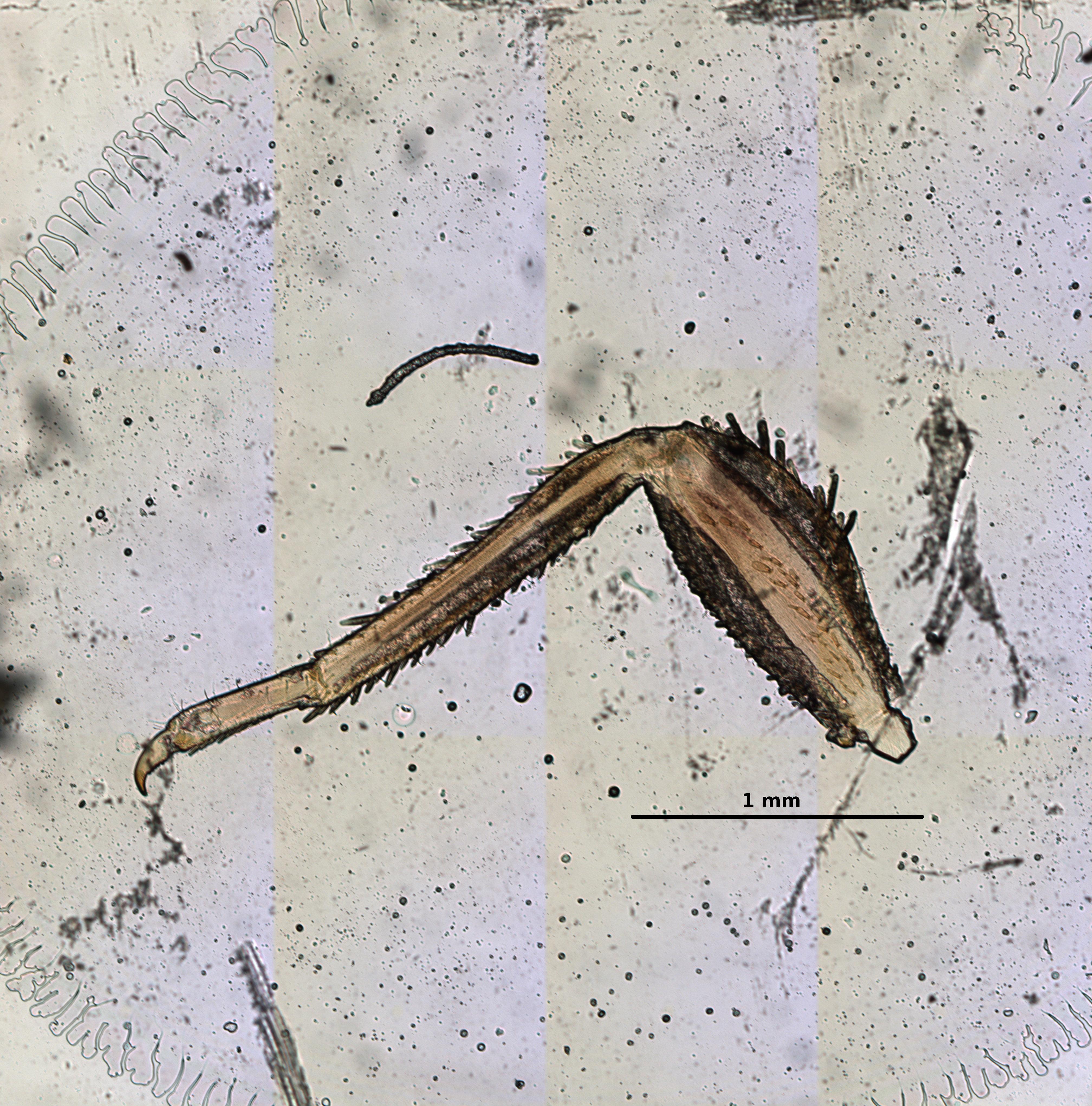 Ephemerythus (Tricomerella) straeleni s4 leg 3 5x.jpg