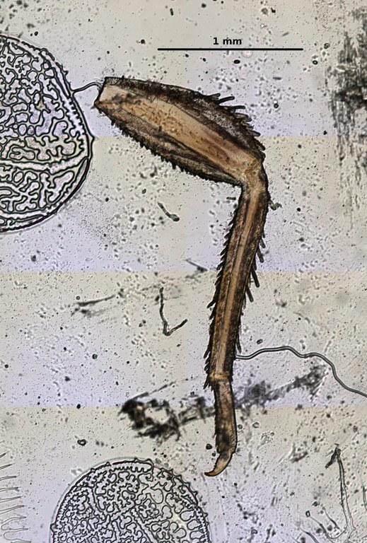 Ephemerythus (Tricomerella) straeleni s4 leg 4 5x.jpg