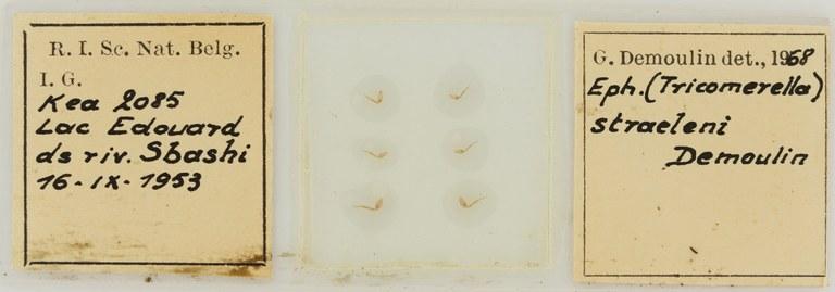 Ephemerythus (Tricomerella) straeleni s4G ht.JPG