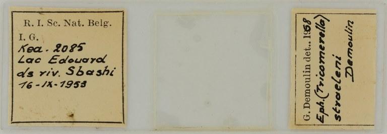 Ephemerythus (Tricomerella) straeleni s5G ht.JPG