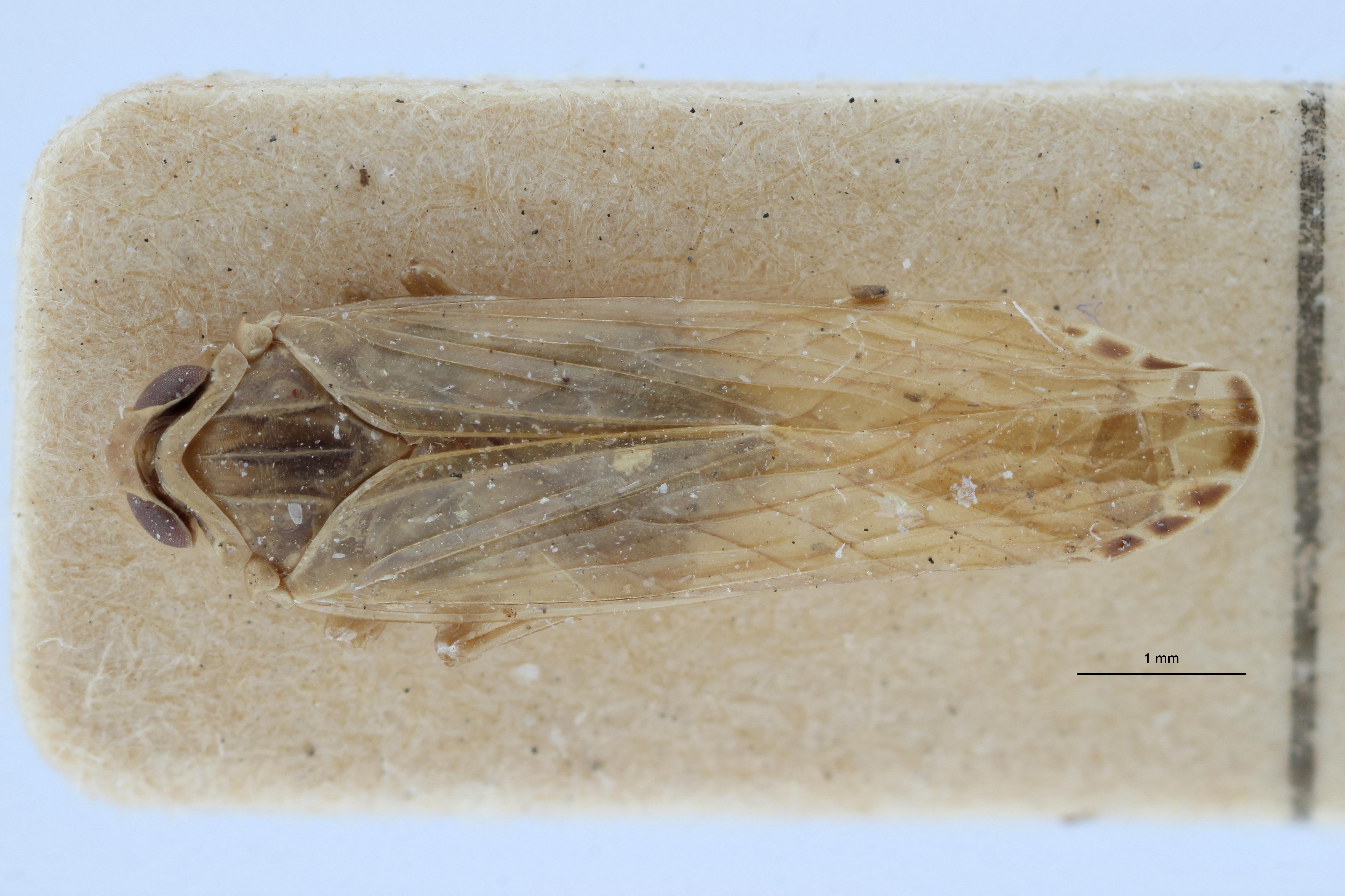 Aphypia longipennis f pallida pt1 D ZS PMax Scaled.jpeg