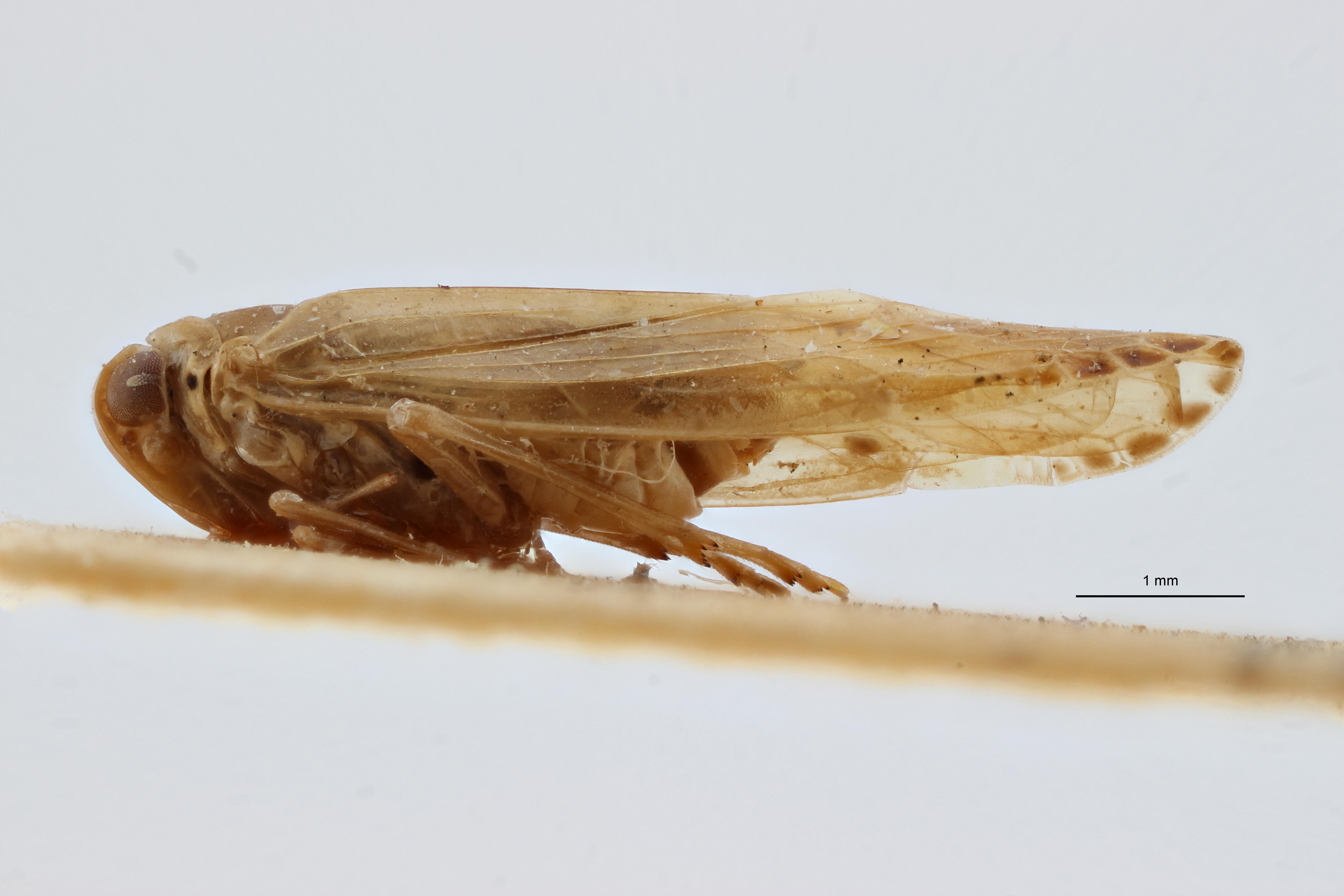 Aphypia longipennis f pallida pt1 L ZS PMax Scaled.jpeg