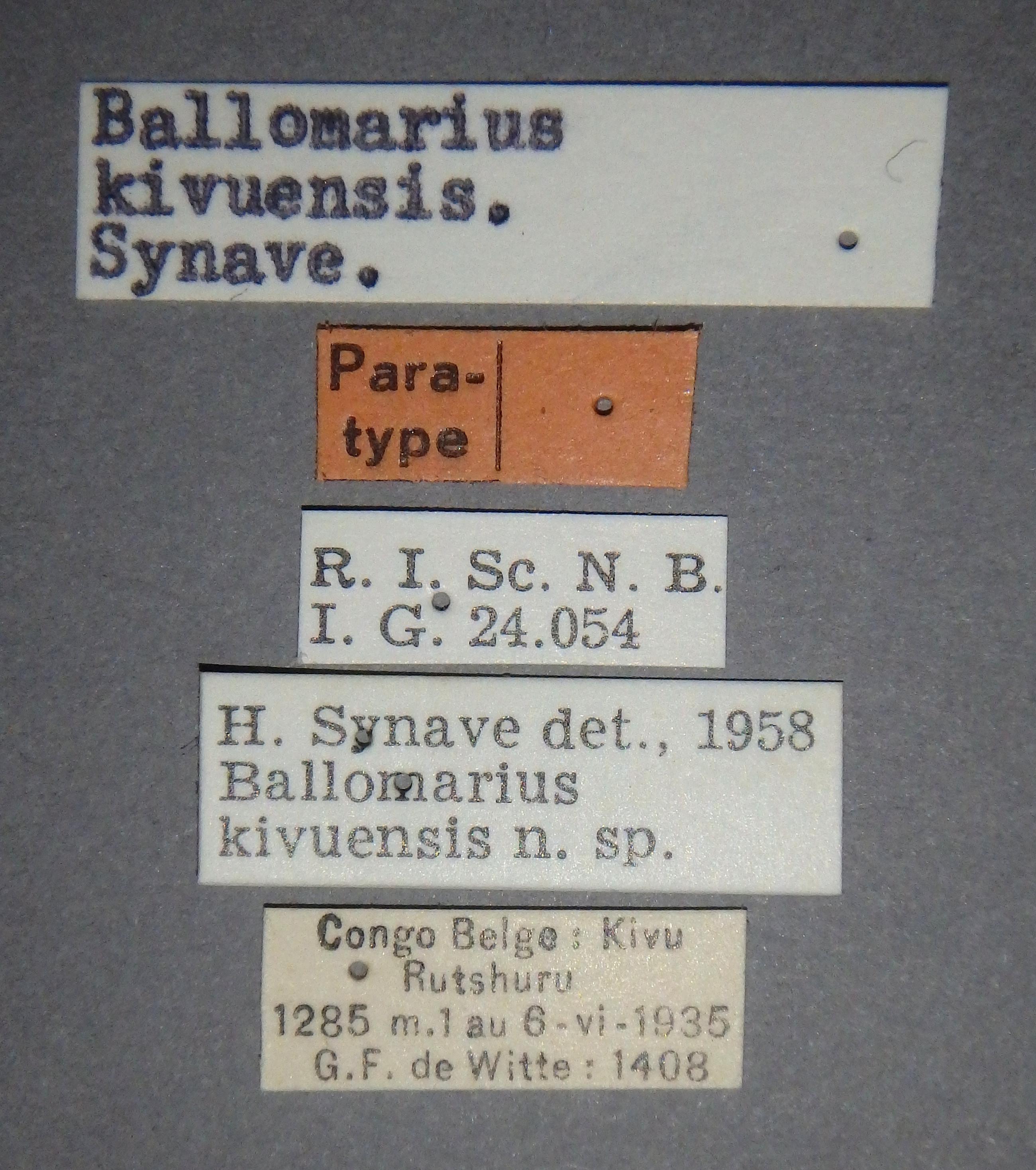 Ballomarius kivuensis pt2 Lb.JPG