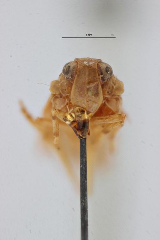 Cnidus akaensis pt F ZS PMax Scaled.jpeg