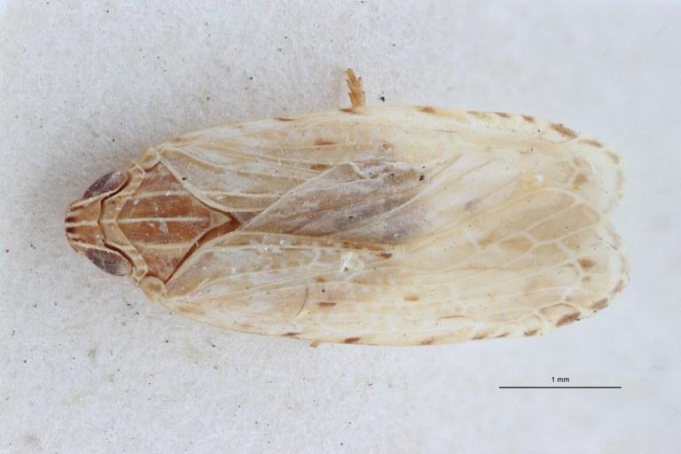 Cnidus pallidus pt D ZS PMax Scaled.jpeg