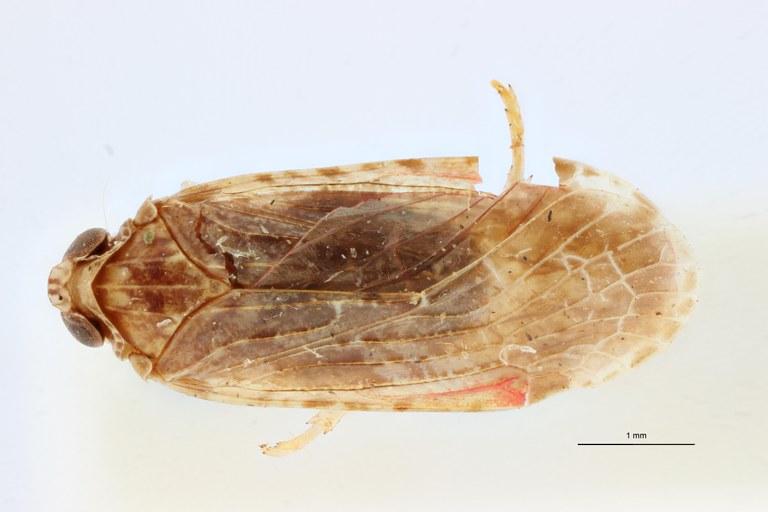 Cnidus striatifrons pt D ZS PMax Scaled.jpeg
