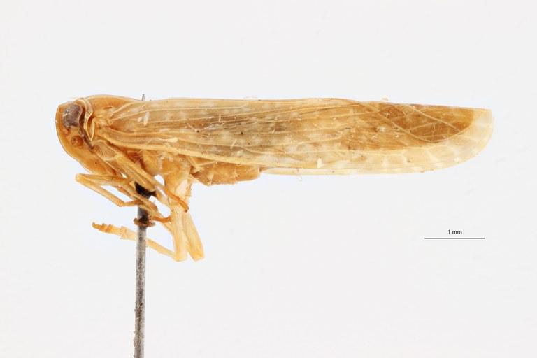 Kawandella pallidomaculata pt L ZS PMax Scaled.jpeg