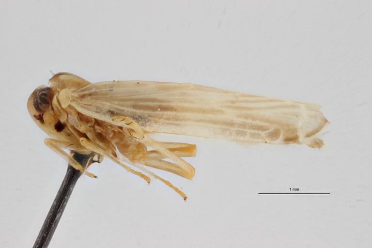 Leptarciella bimaculata pt L ZS PMax Scaled.jpeg