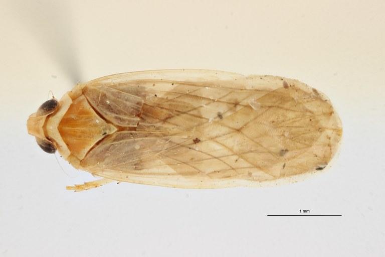 Leptarciella kanongensis pt D ZS PMax Scaled.jpeg