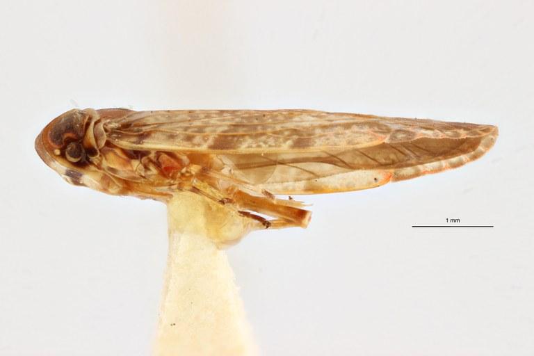 Paraphypia macabeana pt L ZS PMax Scaled.jpeg
