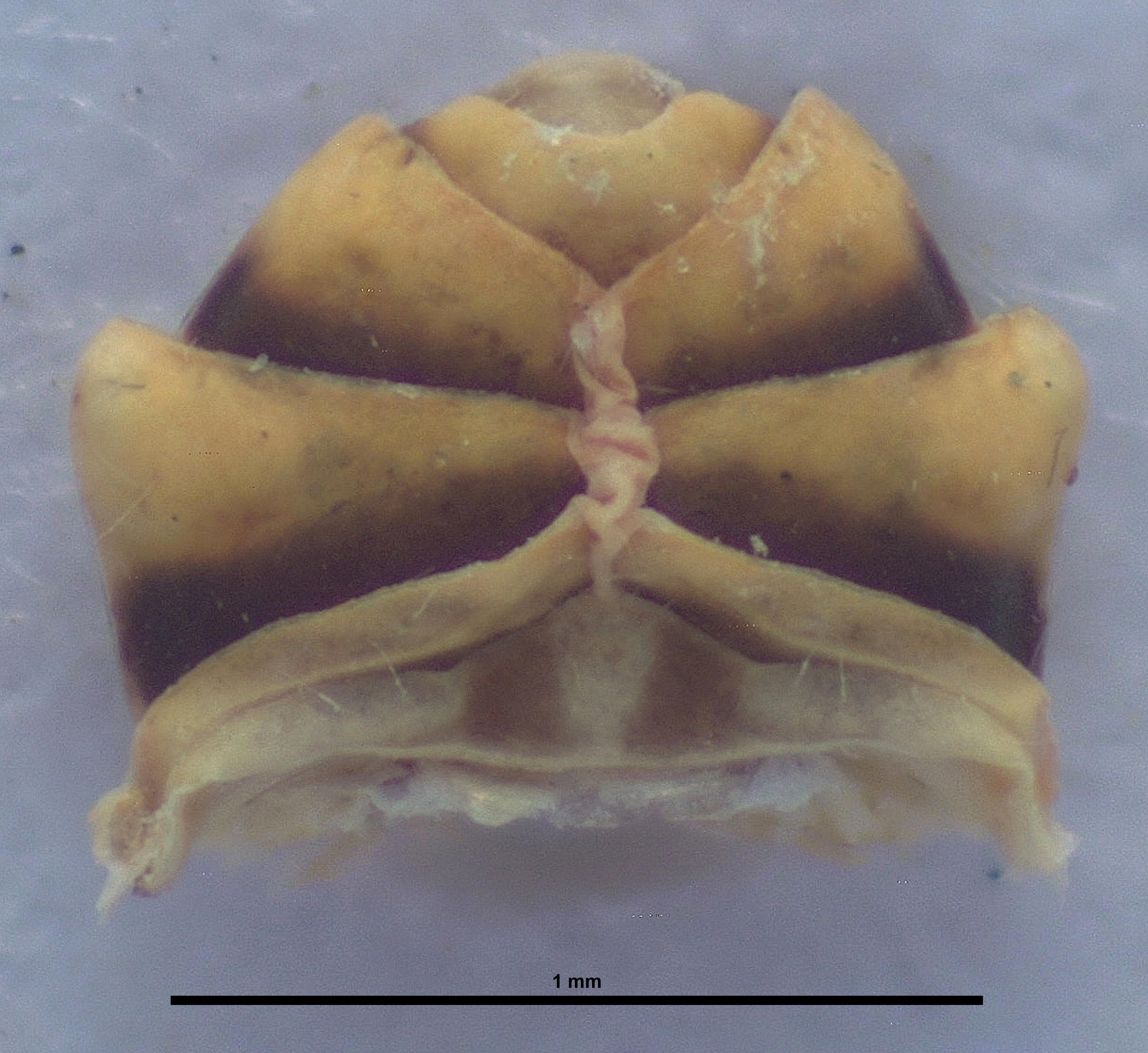 BE-RBINS-ENT Achilixius kolintangi Sulawesi Holotype Male Abdomen Ventral 35x Jerome Constant.jpg