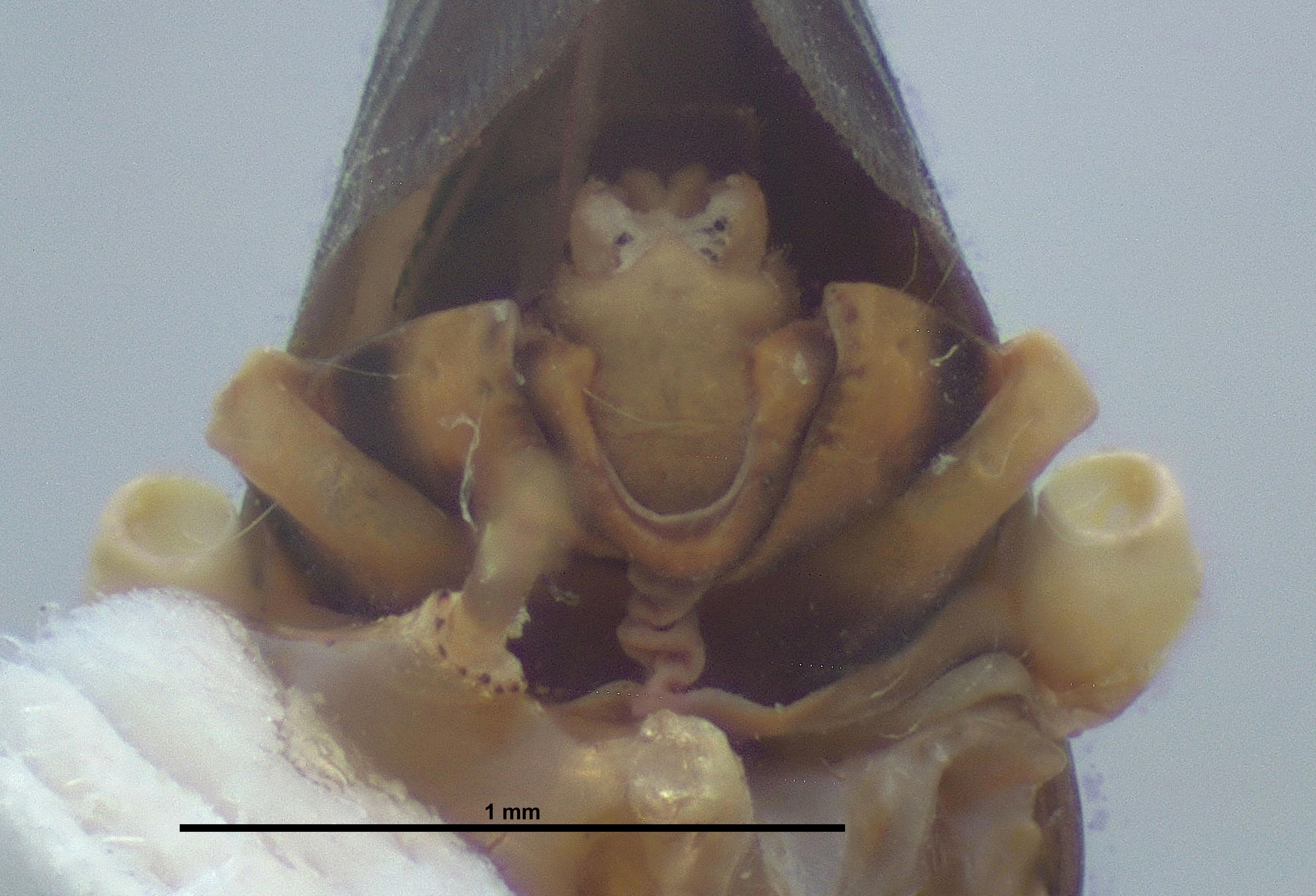 BE-RBINS-ENT Achilixius minahassae Sulawesi Paratype Male Terminalia Posterior Jerome Constant.jpg