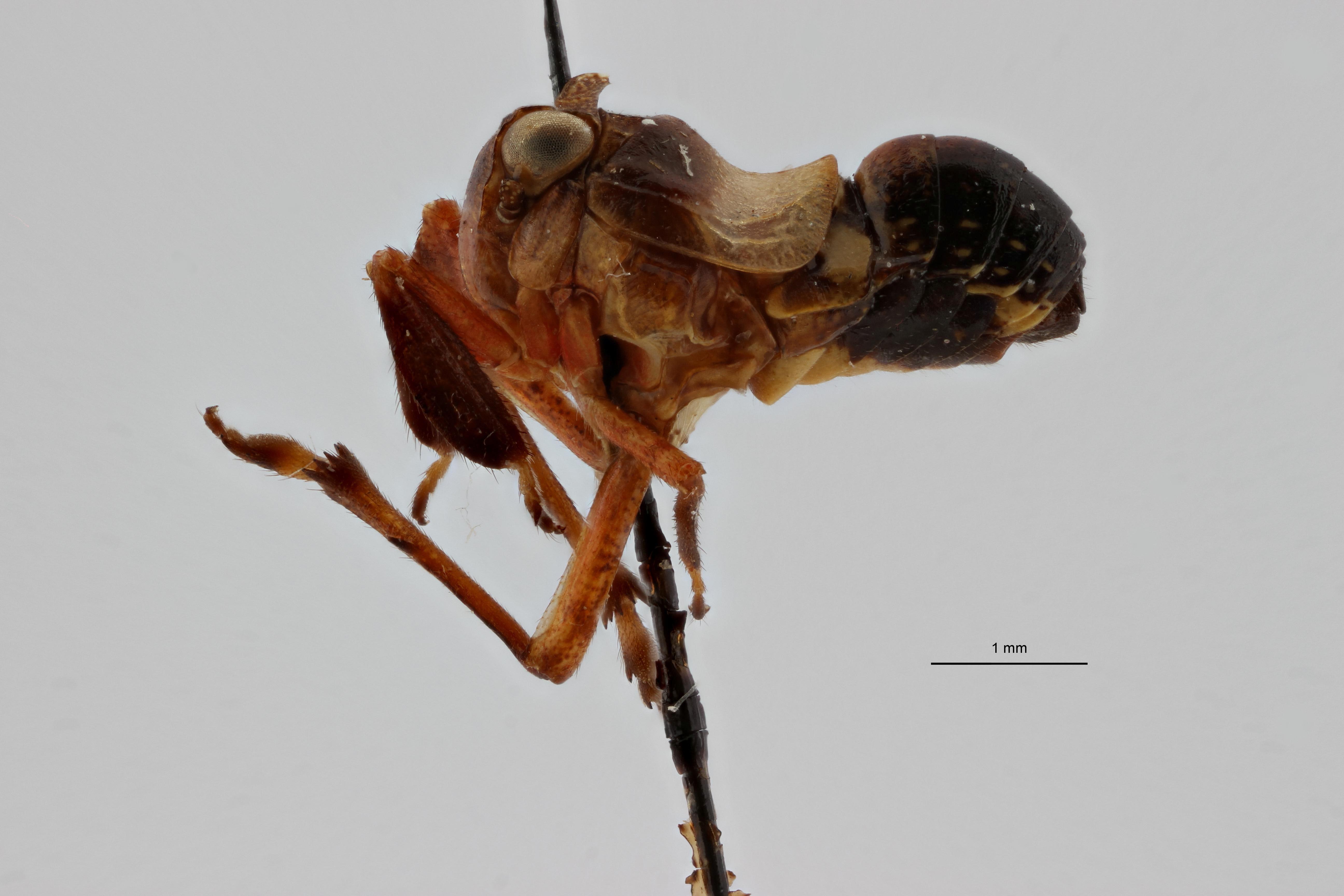 Caliscelis swazi pt1 L ZS PMax.jpg