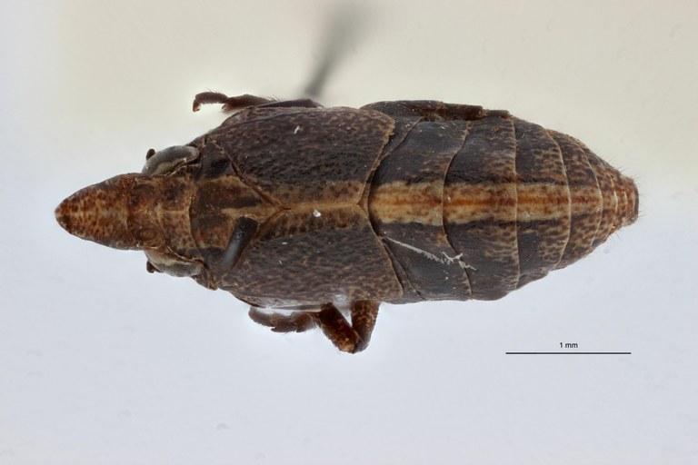 Rhinoploeus iwa ht D ZS PMax.jpg