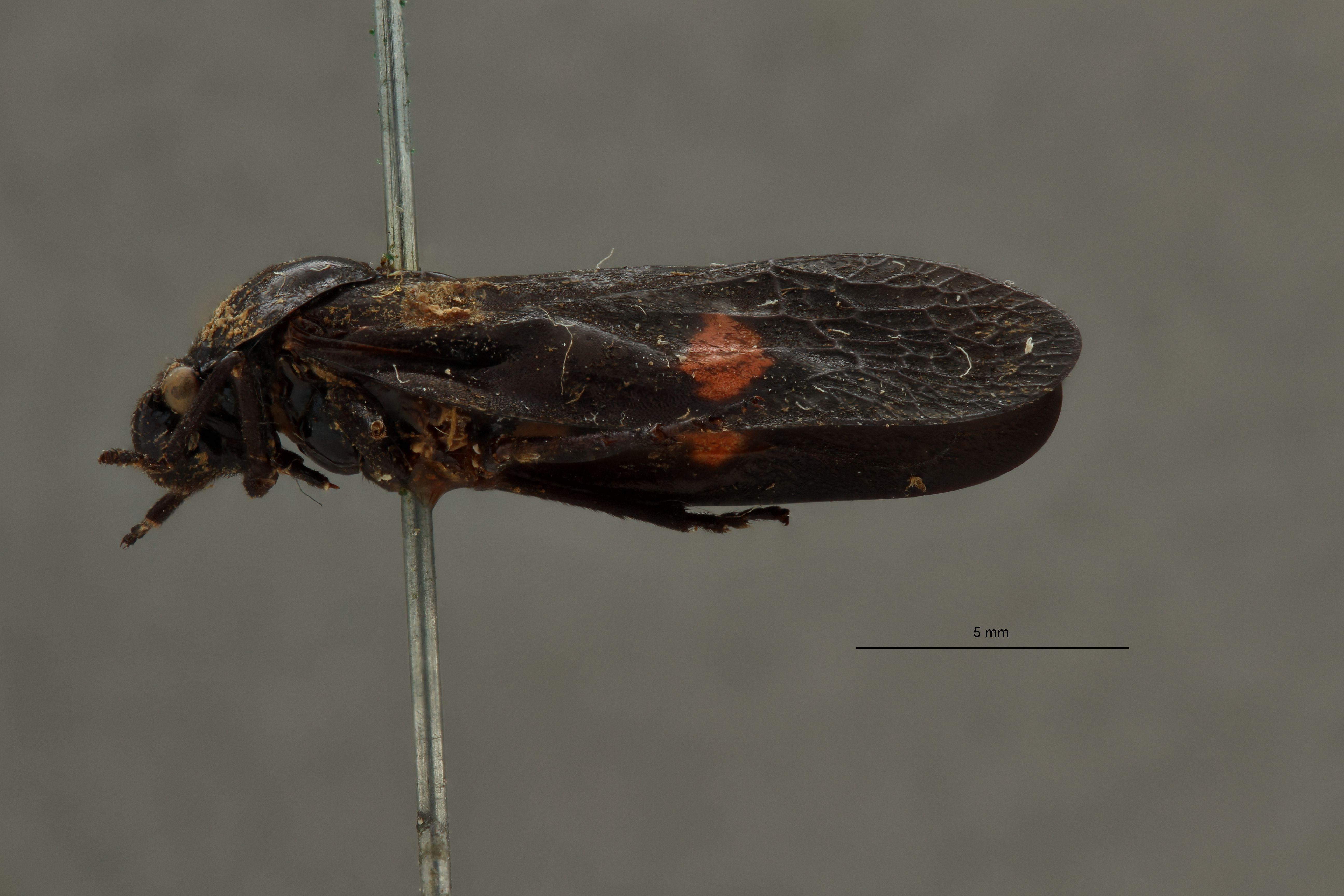 Cosmoscarta sylvestris pt L.jpg