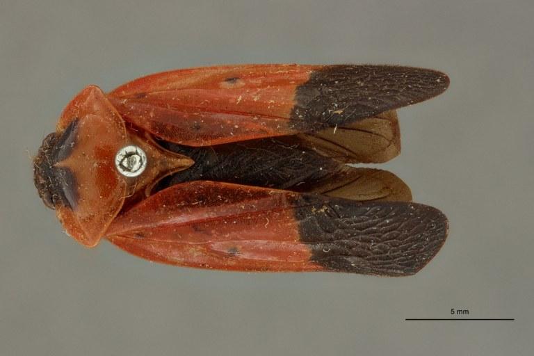 Leptataspis sanguinea bipunctata pt D.jpg