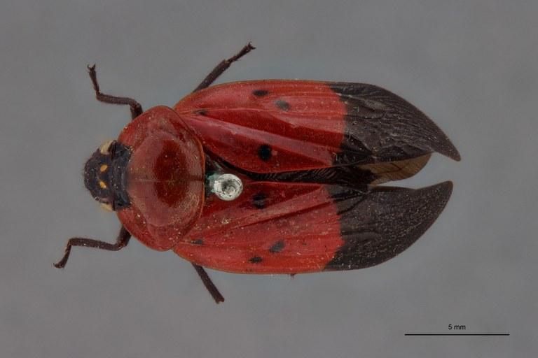 Leptataspis sanguinea pt D.jpg