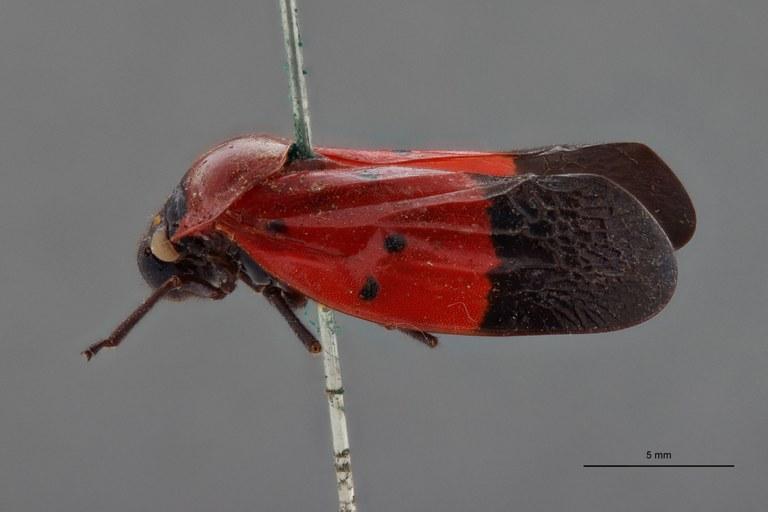 Leptataspis sanguinea pt L.jpg