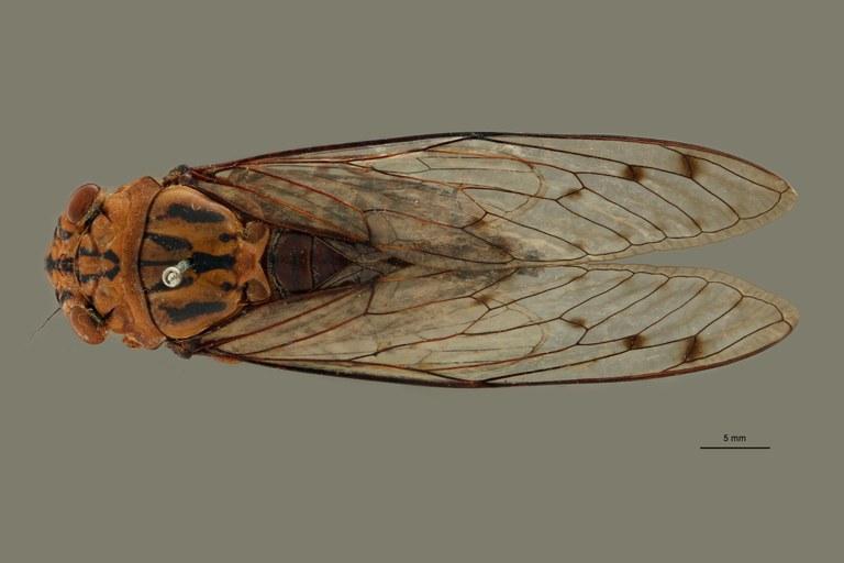 Orientopsaltria angustata pt D.jpg