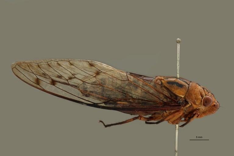 Orientopsaltria angustata pt L.jpg