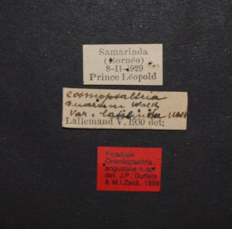 Orientopsaltria angustata pt.JPG
