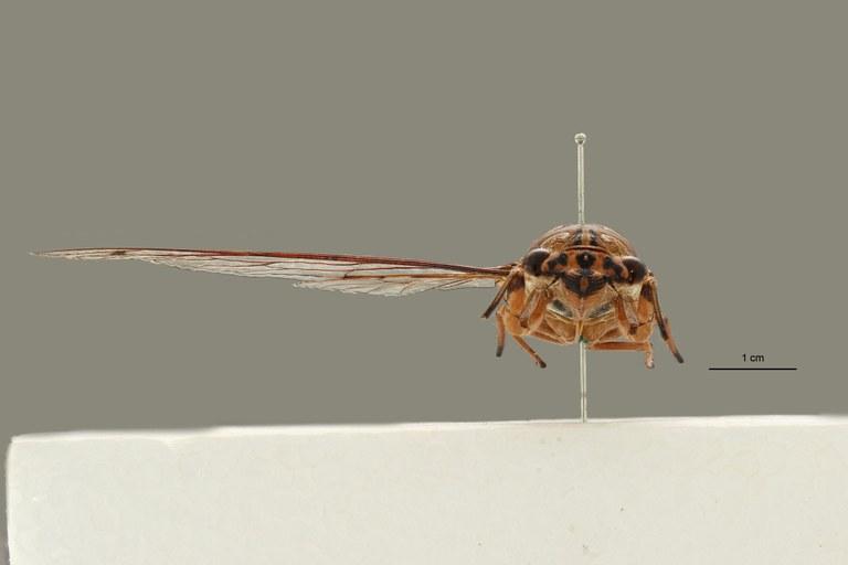Orientopsaltria ruslani pt F.jpg