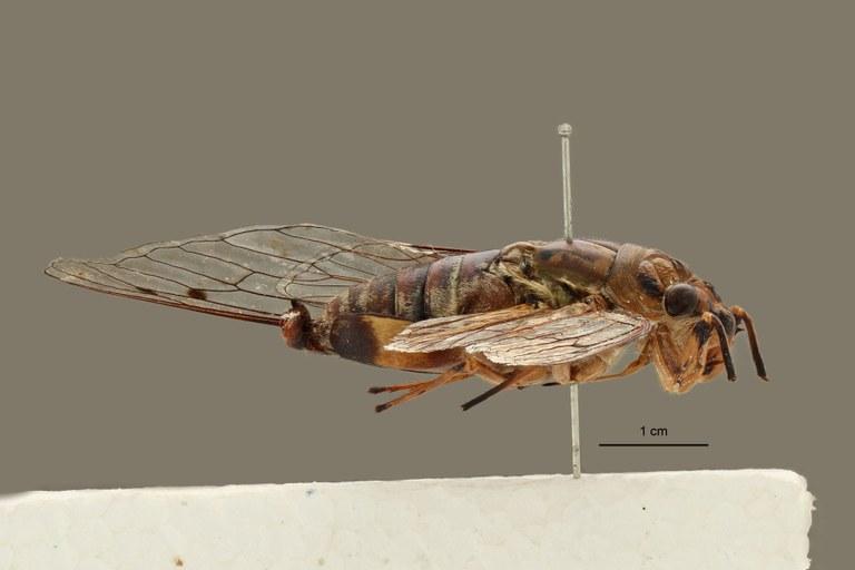 Orientopsaltria ruslani pt L.jpg