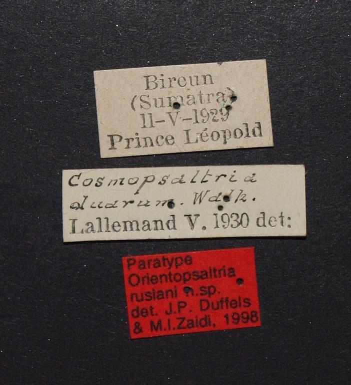 Orientopsaltria ruslani pt.JPG
