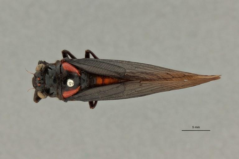 Huechys fusca nigra pt D.jpg