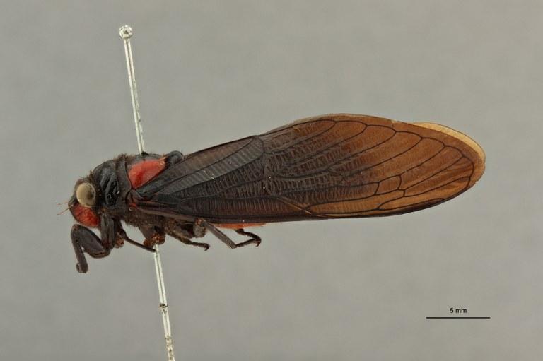 Huechys fusca nigra pt L.jpg