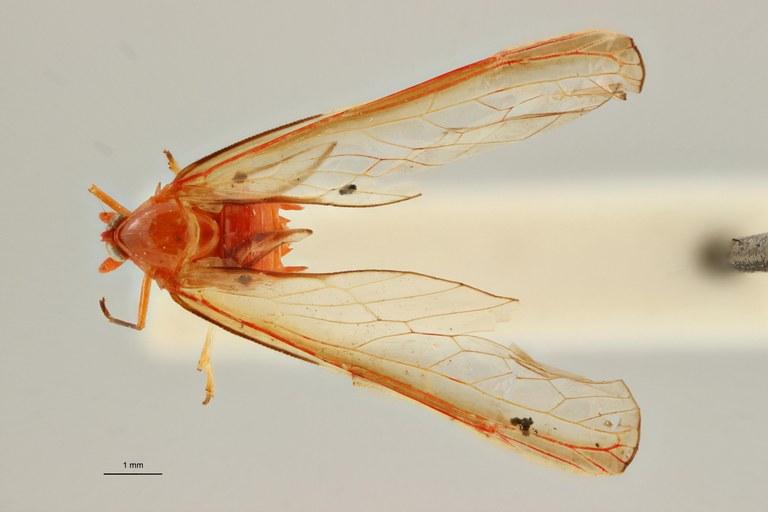 Diostrombus demoulini pt D ZS PMax.jpg Scaled.jpeg