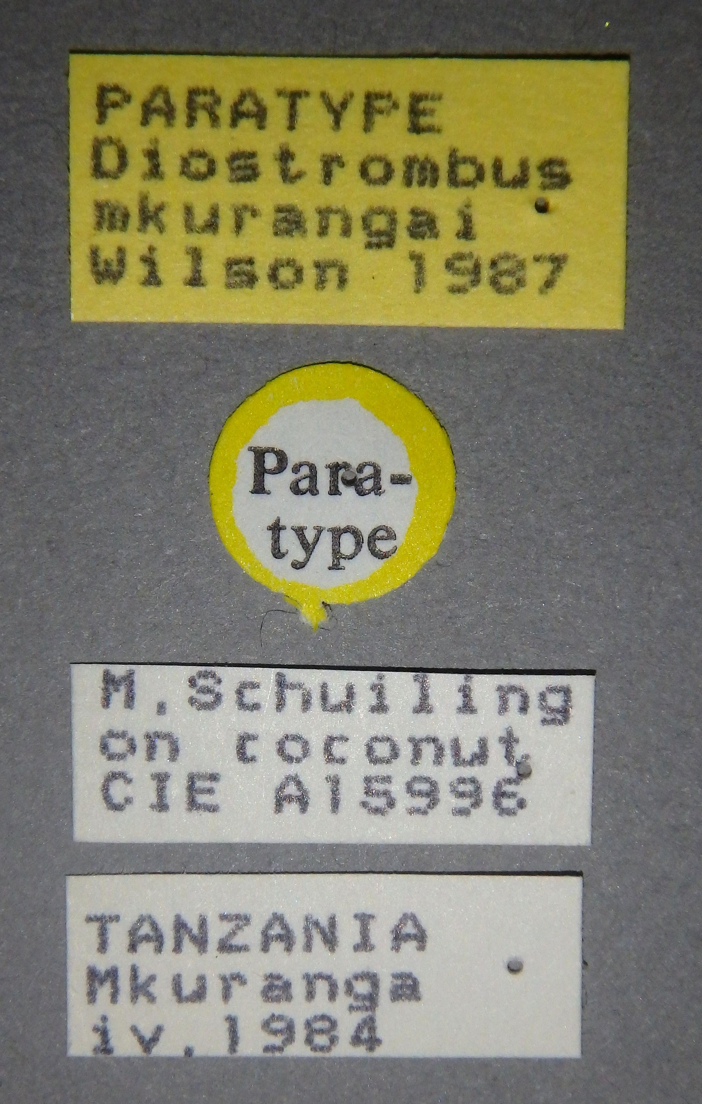 Diostrombus mkurangai pt1 Lb.JPG