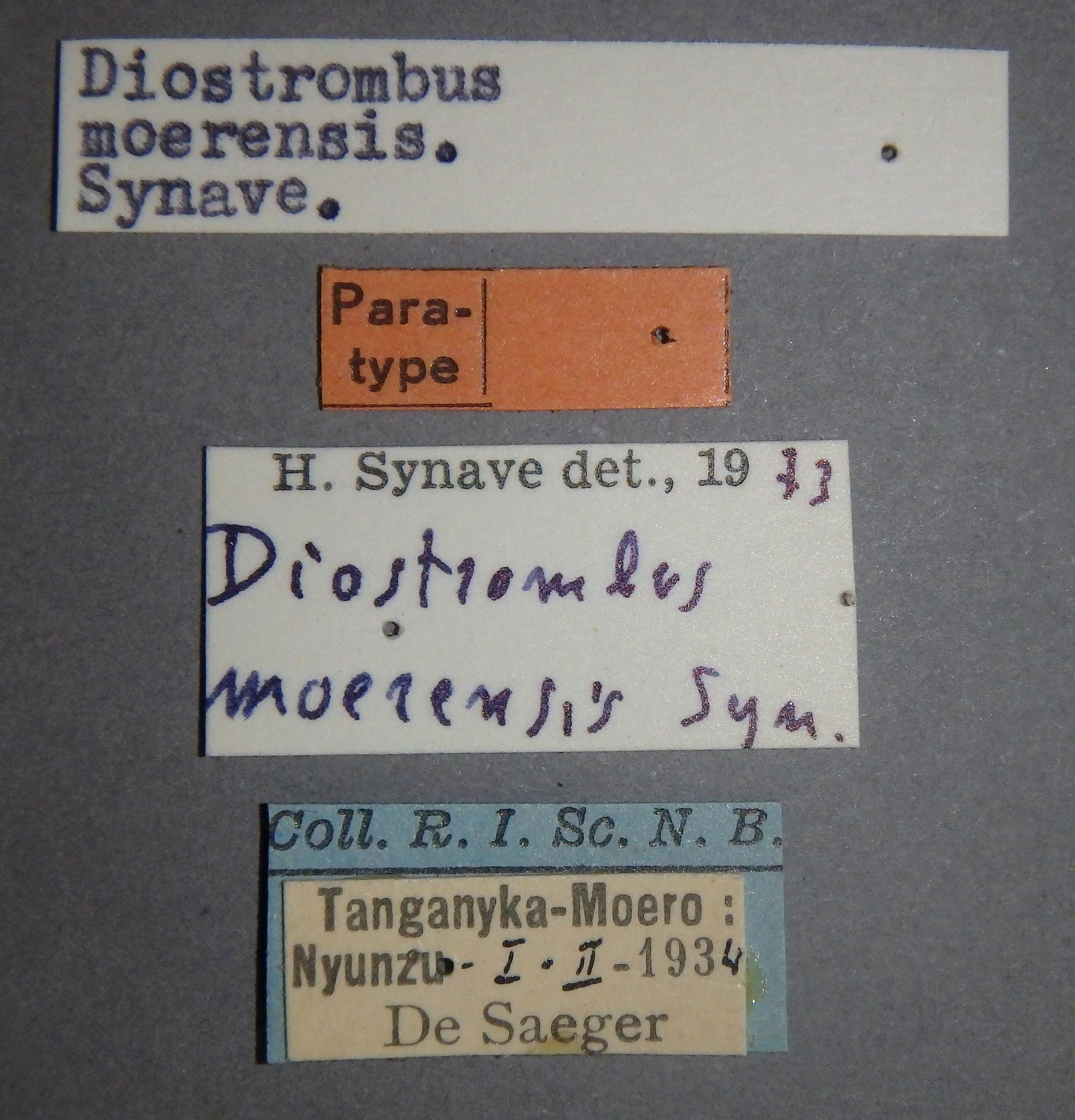 Diostrombus moerensis pt Lb.JPG