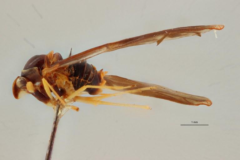 Diostrombus obscurus pt L ZS PMax.jpg Scaled.jpeg