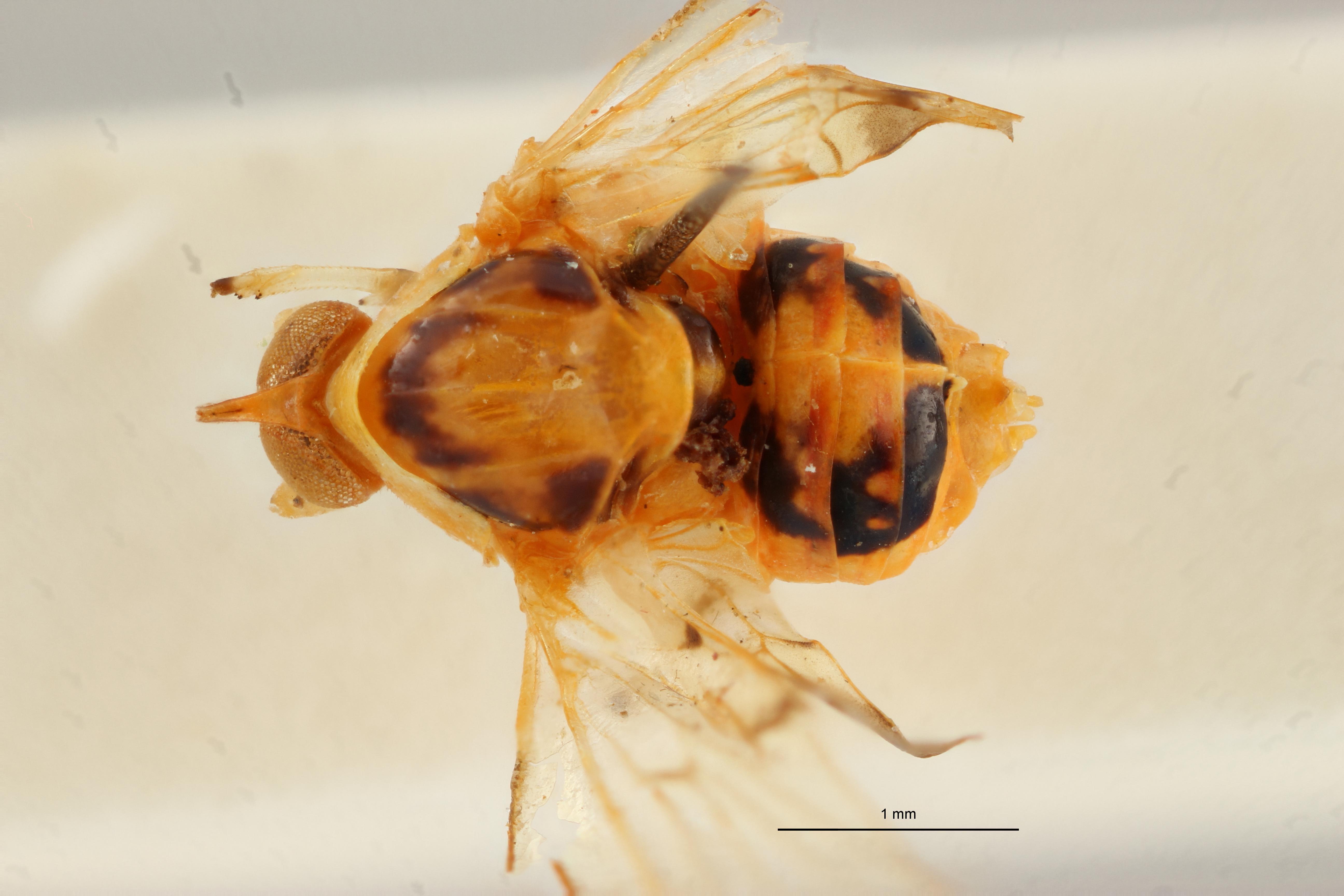 Diostrombus strioticollis pt D ZS PMax Scaled.jpeg