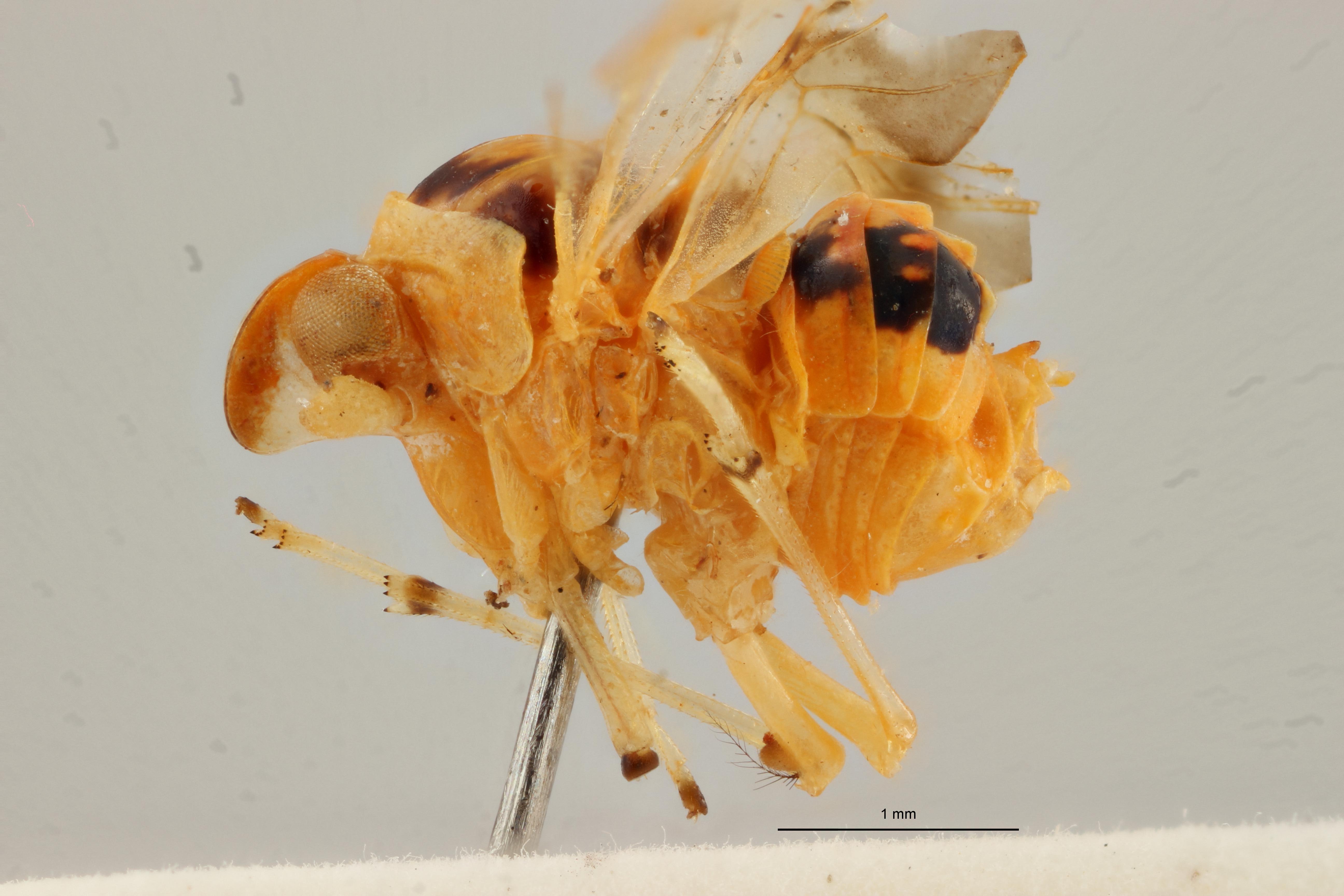 Diostrombus strioticollis pt L ZS PMax Scaled.jpeg