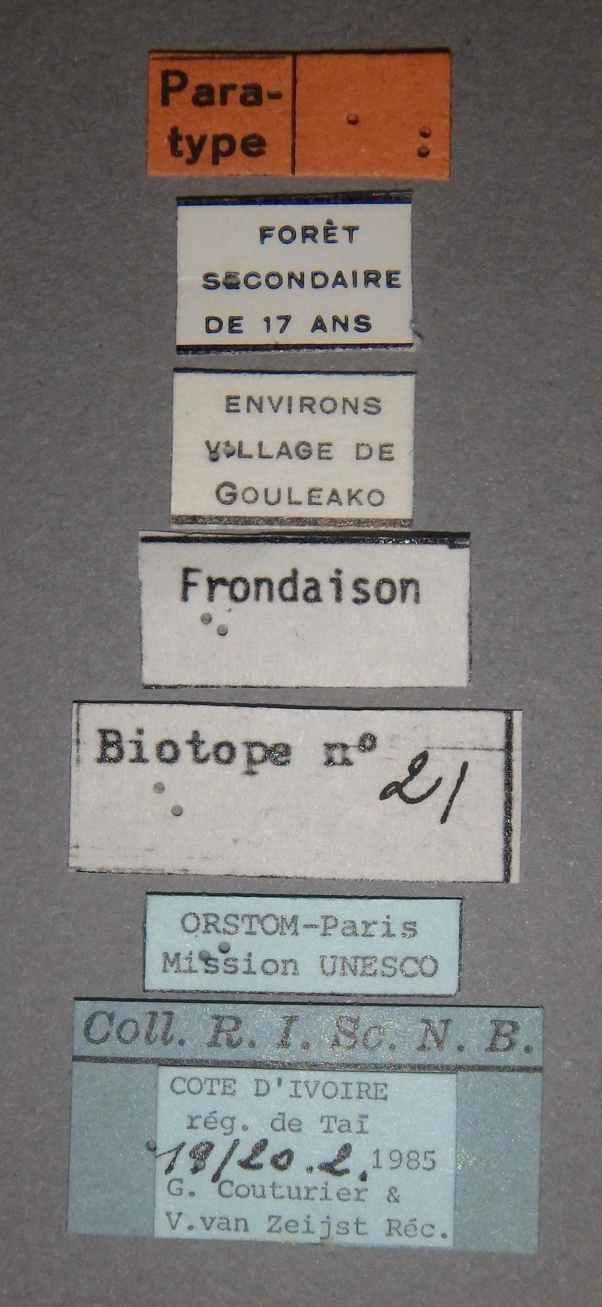 Diostrombus strioticollis pt Lb.JPG