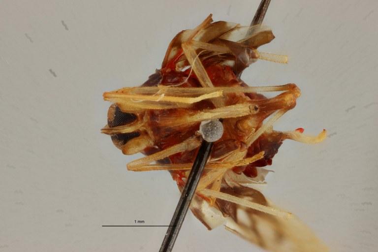 Diostrombus zairensis ht V ZS PMax Scaled.jpeg