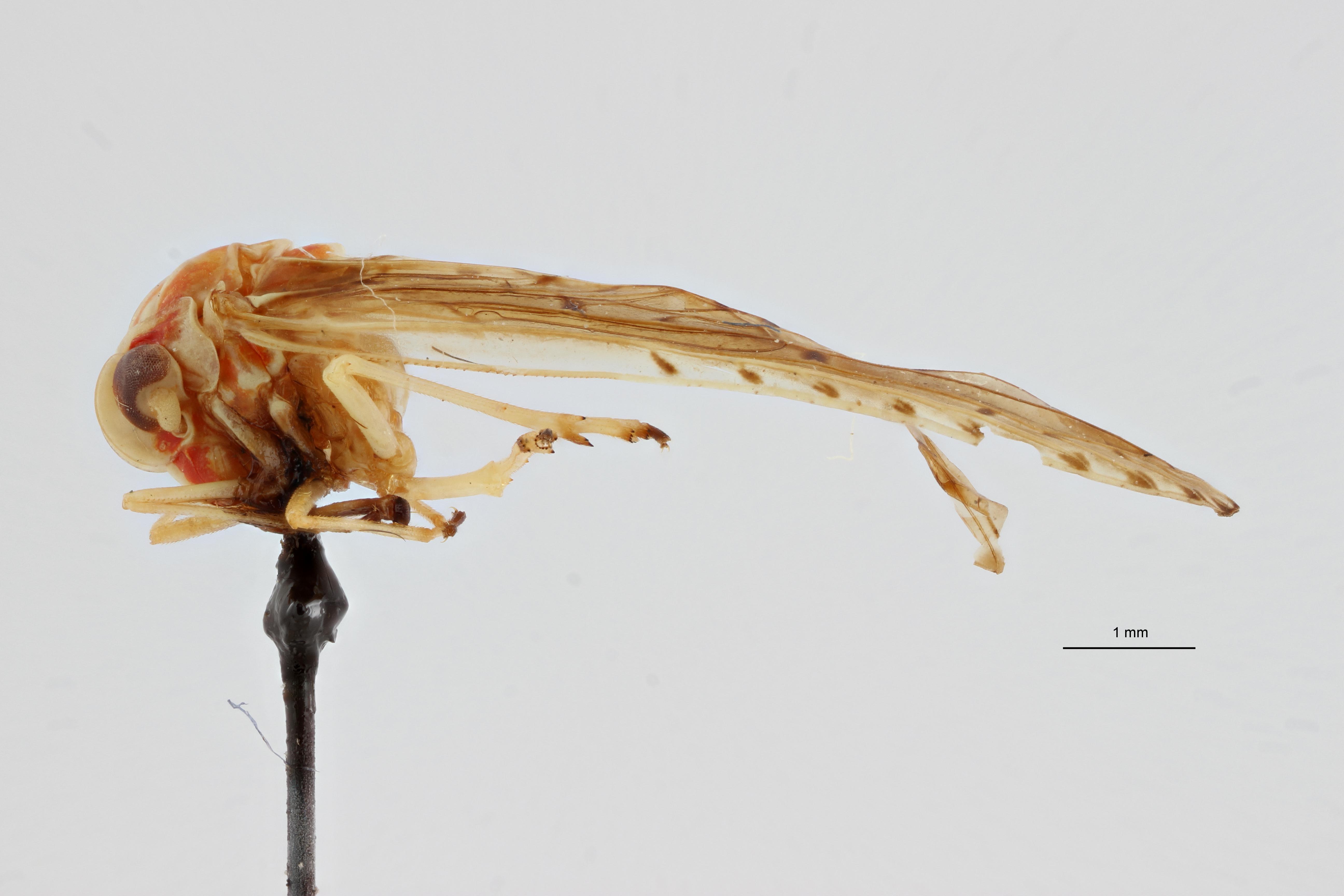 Lydda elongata L ZS PMax Scaled.jpeg