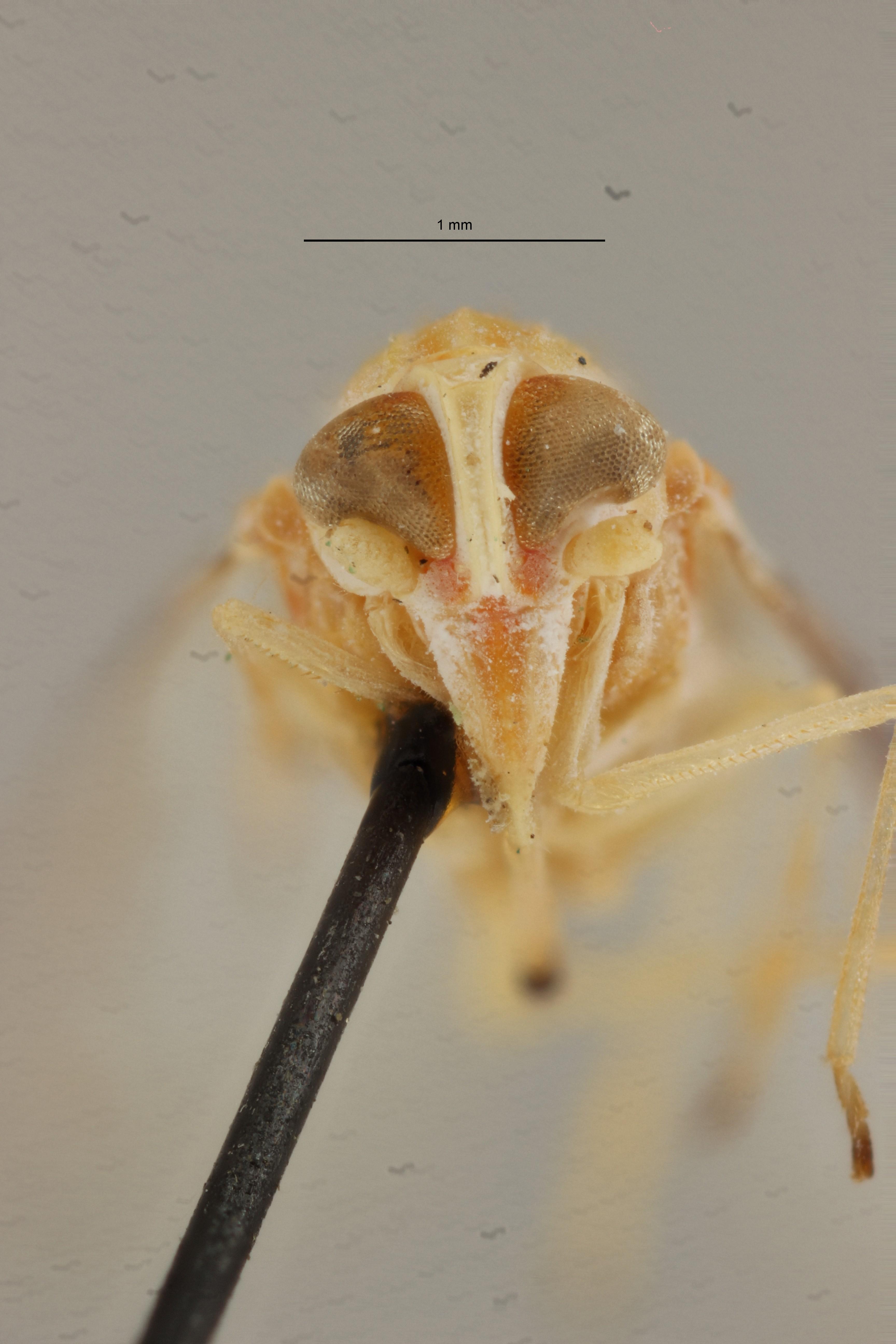 Lydda mayumbensis pt F ZS PMax Scaled.jpeg