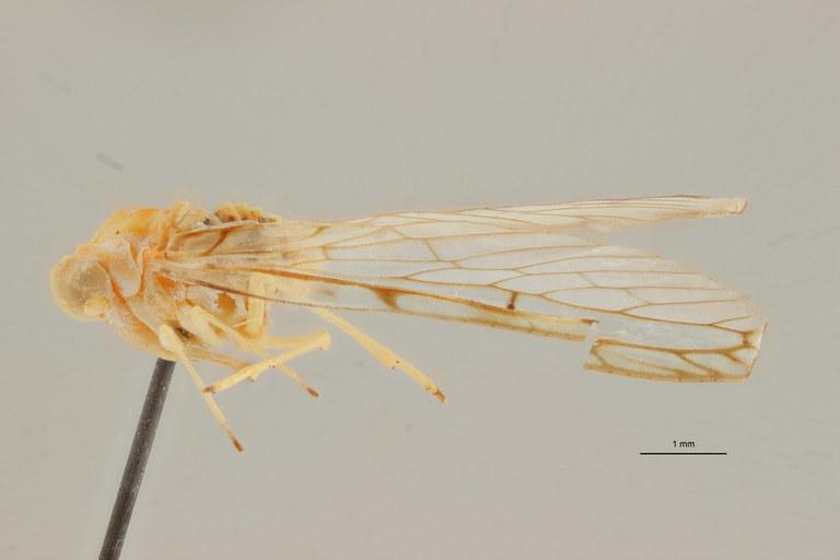 Lydda mayumbensis pt L ZS PMax Scaled.jpeg