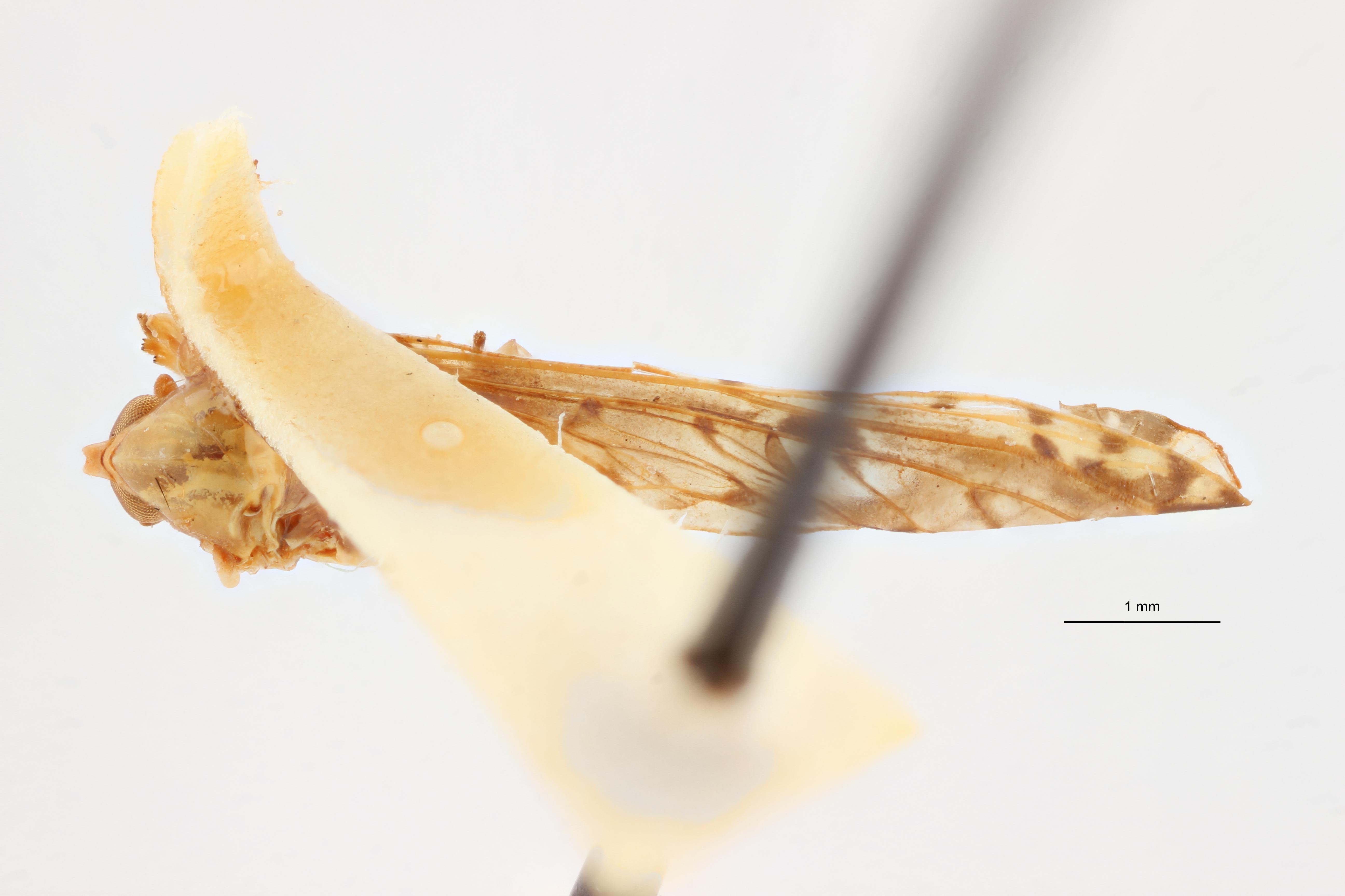 Lydda perlucida pt D ZS PMax Scaled.jpeg