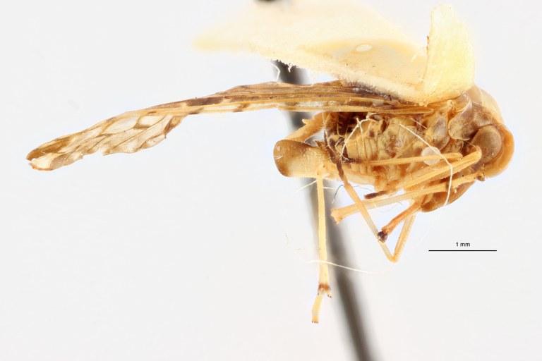 Lydda perlucida pt L ZS PMax Scaled.jpeg